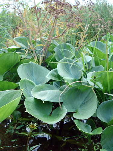 Aquatic plants.