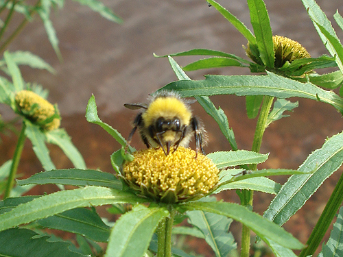 A bumblebee having its lunch.